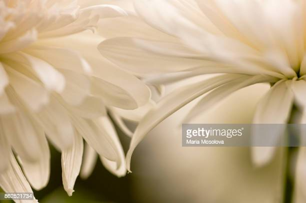 Two Chrysanthemum Flower Touching with Petals