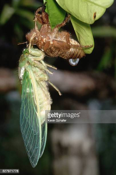 Two Cicadas Hanging Off Leaves