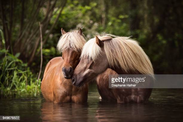 Two Classic Ponys (Equus) standing in the water and gently touching each other, Germany