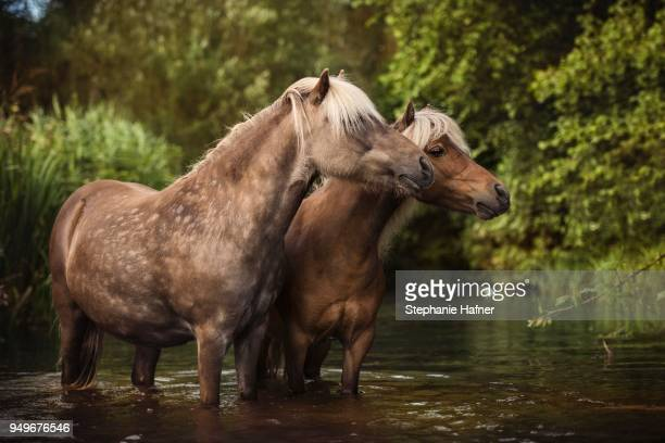 Two Classic Ponys (Equus) standing in the water, Germany