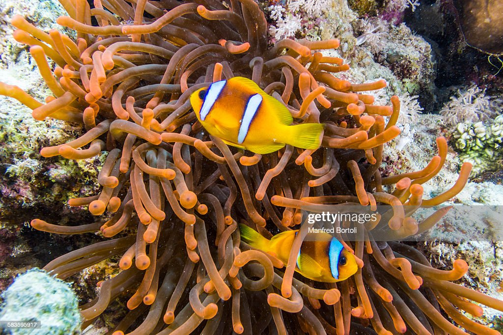 Two clownfish swim in a red fluorescent anemone : Stock Photo