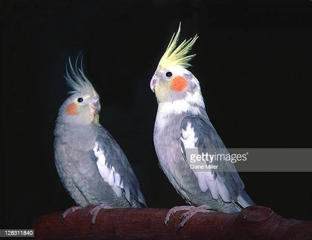 Two cockatiels perched on branch