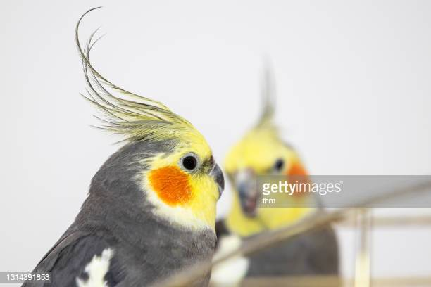 two cockatiels - featherweight stock pictures, royalty-free photos & images