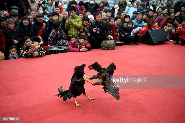 Two cocks compete during a cockfight at a square on January 1 2017 in Bozhou Anhui Province of China More than 80 professional cocks participate in...