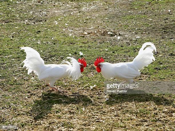 two cocks fighting, outdoors - gallo foto e immagini stock