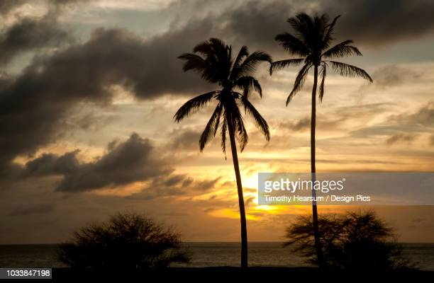 Two coconut palm trees with ocean and dramatic sky beyond at sunset, Papohaku Beach