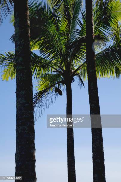 two coconuts hang from a palm tree with two other palm trunks in the foreground - timothy hearsum stock-fotos und bilder