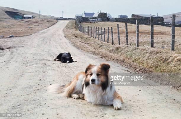 Two collie sheepdogs on a dirt track on Fair Isle Shetland Islands Scotland June 1970