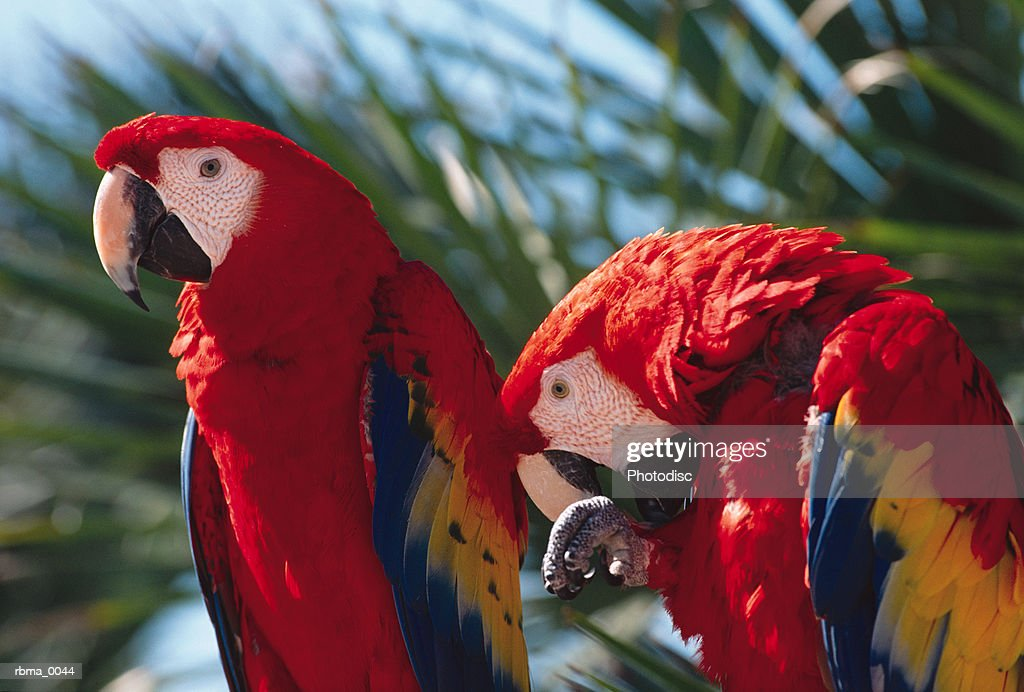 two colorful parrots are sitting on the branch of a palm tree : Stockfoto