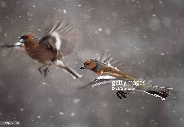 two common chaffinches flying in snowfall - swedish lapland stock-fotos und bilder