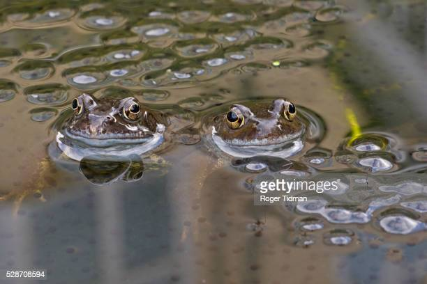 Two common frogs in pond with spawn
