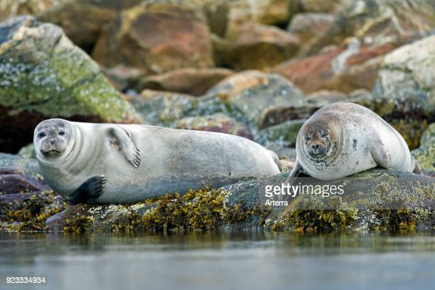 Two common seals harbour seals resting on rocky coast Svalbard Spitsbergen Norway