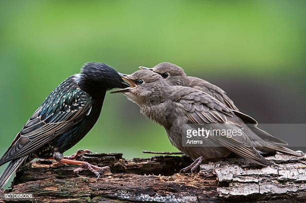 Two Common Starlings / European starling fledglings fed by parent in spring