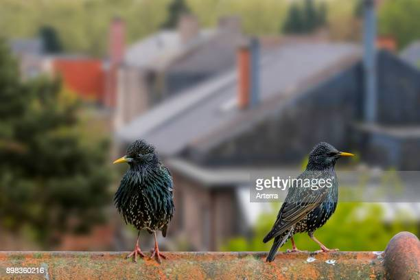 Two common starlings / European starling males perched on roof of house in village