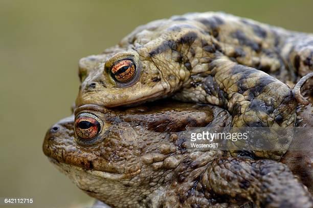 two common toads mating - accoppiamento animale foto e immagini stock
