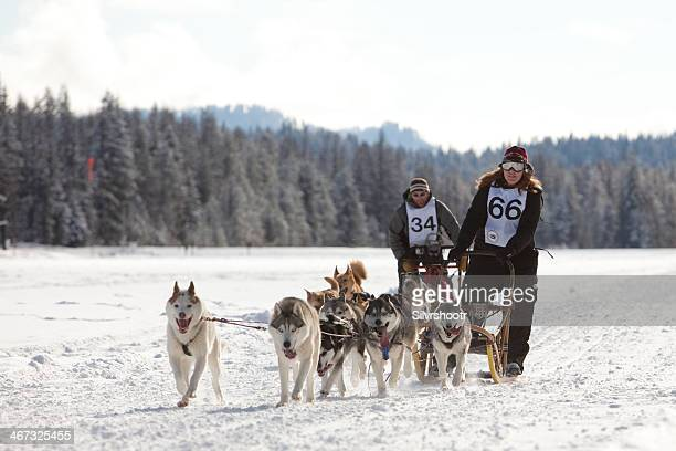 two competitors approaching the finish line of dogsled race. - dog sledding stock photos and pictures