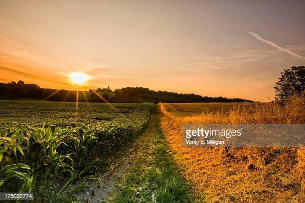 Two Contrasting Fields of Crops at Sunrise