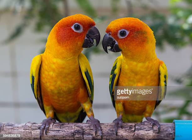 Two conure parrots looking at each other