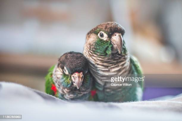 two conures next to eachother - caprice stock pictures, royalty-free photos & images