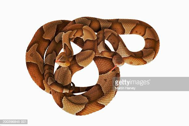 two copperheads (agkistrodon contortrix), overhead view - copperhead snake stock pictures, royalty-free photos & images