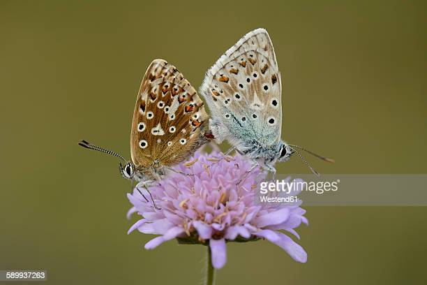 Two copulating Chalkhill blue