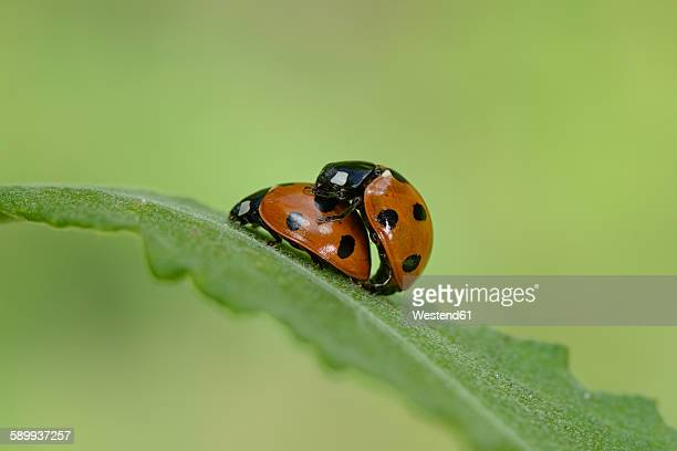 two copulating seven-spotted ladybirds - begattung kopulation paarung stock-fotos und bilder