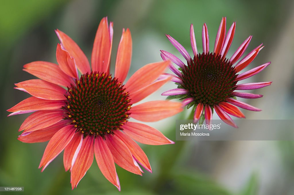 Two Coral Pink Echinacea Flowers, Green Background : Stock Photo