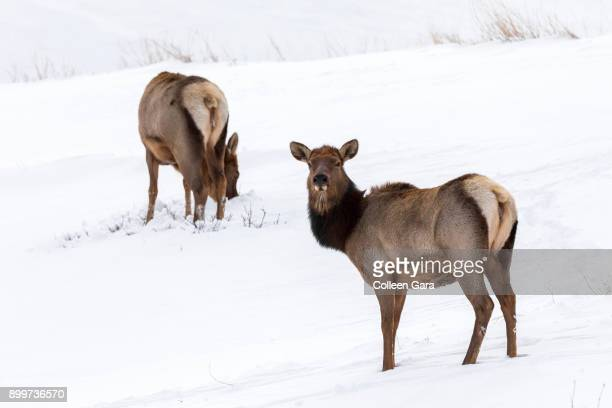 Two Cow Elk on Snowy Hill in Jasper National Park, Alberta, Canada.