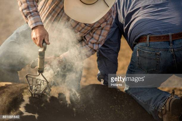 Two cowboys, one holding an electric branding iron and using it on the bull while the other is holding the animal.