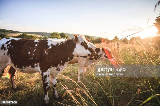 two cows at sunset in normandy - organic farm stock pictures, royalty-free photos & images