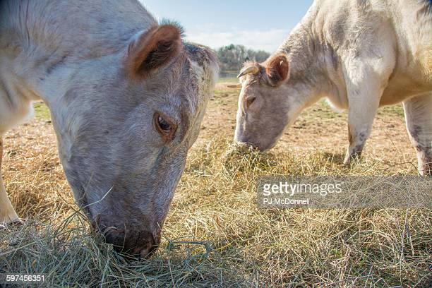 Two Cows eating at the Green Mountain College farm, Poultney, Vermont.