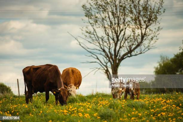 Two cows eating grass and two bull calves posing to camera
