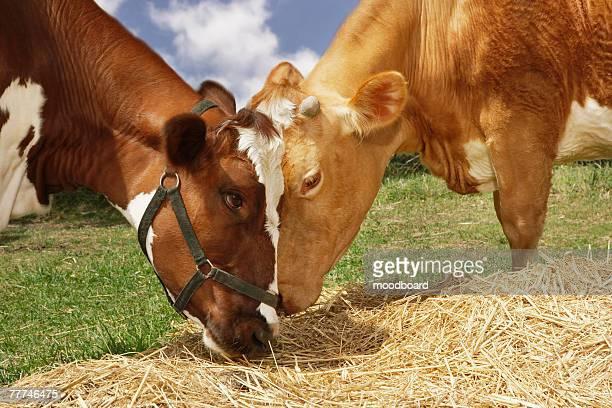 two cows eating straw - due animali foto e immagini stock