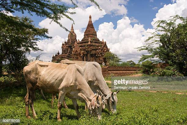 Two cows grazing in Bagan archeological zone Bagan Mandalay Region Myanmar Asia