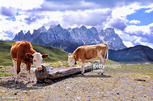 Two cows grazing in summer mountains,Trentino