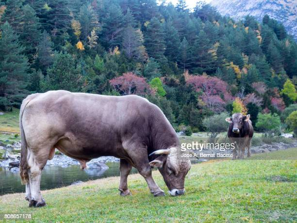 Two cows grazing near a river of mountain in the pyrenees in Autumn