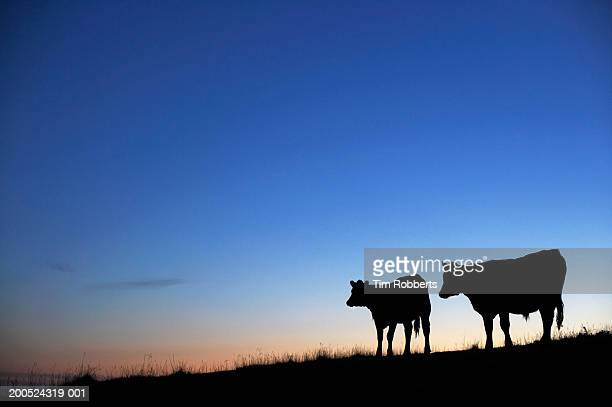 Two cows in field at sunset