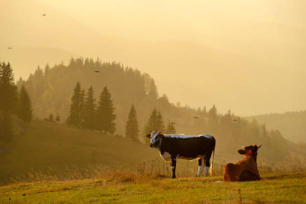Two Cows In Rural Mountain Landscape Wall Art