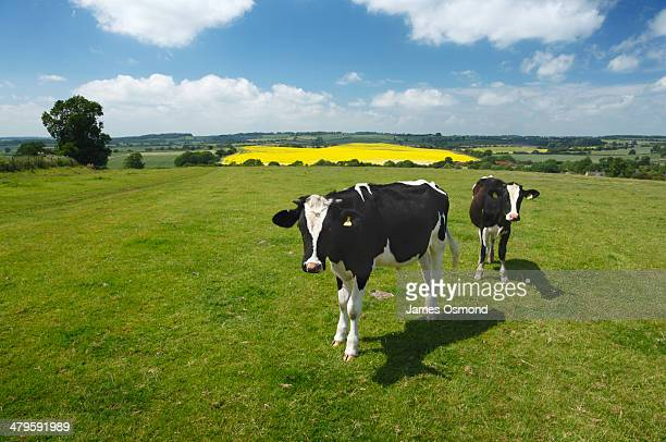 two cows - northamptonshire stock pictures, royalty-free photos & images