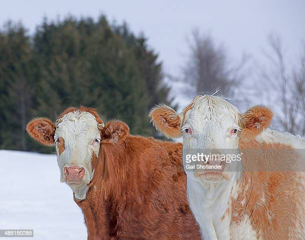Two Cows with their Winter Coats
