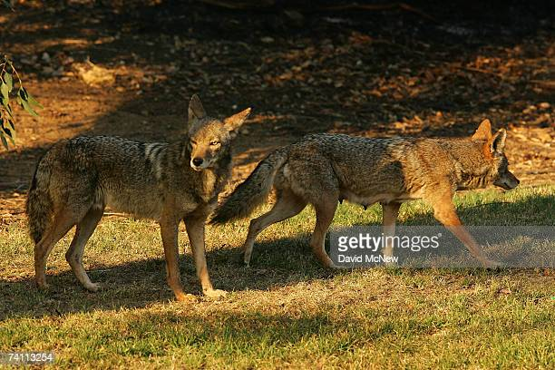 Two coyotes one of them a nursing mother walking with a limp walk on grass at the edge of scorched earth in Griffith Park the nation's largest urban...