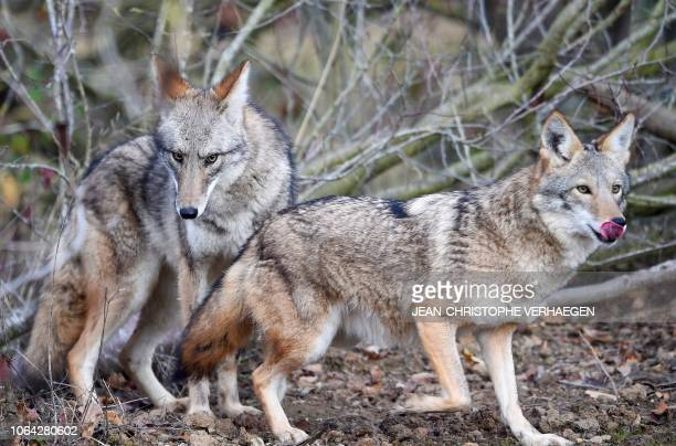 Two coyotes stands in the animal park of SainteCroix on November 22 in Rhodes eastern France as six specimen are recently welcomed for the first time