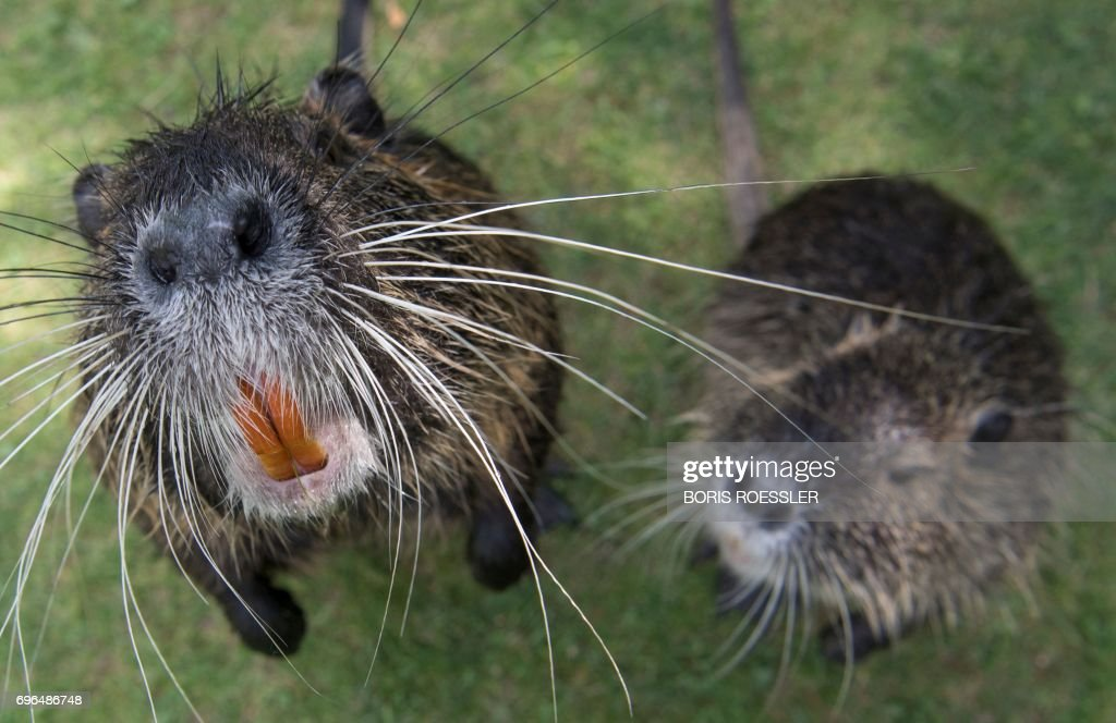 Two coypus (Muskrat Rats) are pictured as they approach the photographer's camera at the Nidda in Frankfurt am Main, western Germany, on June 15, 2017. / AFP PHOTO / dpa / Boris Roessler / Germany OUT