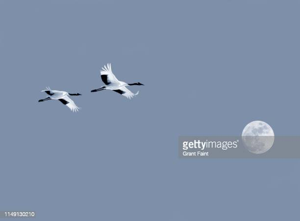 two crane birds flying. - japanese crane stock pictures, royalty-free photos & images
