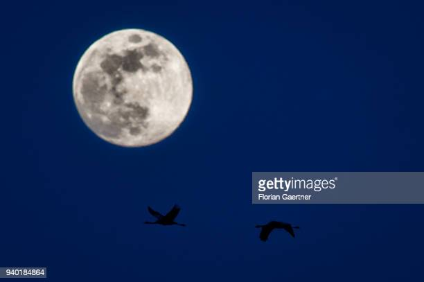 Two cranes are pictured in front of the rising moon on March 30 2018 in Diehsa Germany