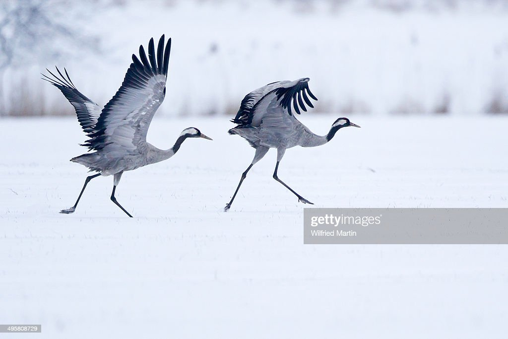 Two cranes -Grus grus- on a snow-covered field before taking off, North Hesse, Hesse, Germany : Stock Photo