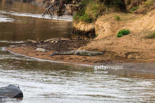 Two crocodiles resting