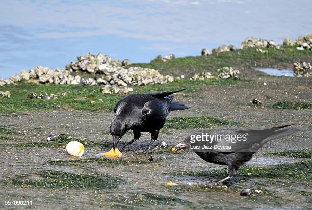 Two Crows eating