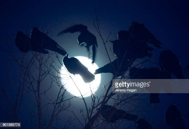two crows fight as the nearly full wolf supermoon rises - bloomington indiana stock photos and pictures