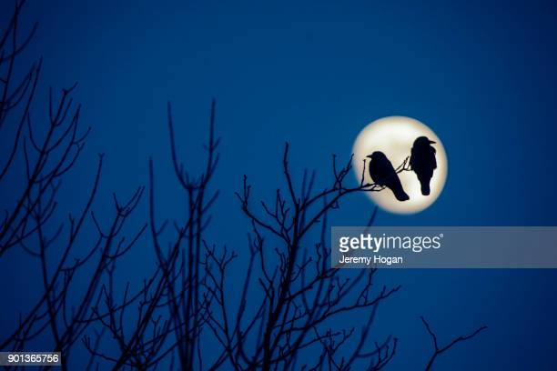 two crows sit silhouetted on a branch as the almost full wolf supermoon rises - bloomington indiana stock photos and pictures